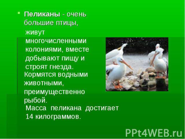 Пеликаны - очень большие птицы, живут многочисленными колониями, вместе добывают пищу и строят гнезда. Кормятся водными животными, преимущественно рыбой. Масса пеликана достигает 14 килограммов.