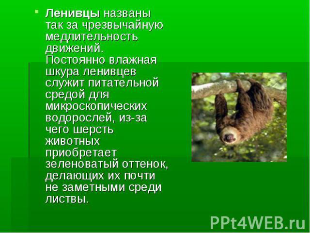 Ленивцы названы так за чрезвычайную медлительность движений. Постоянно влажная шкура ленивцев служит питательной средой для микроскопических водорослей, из-за чего шерсть животных приобретает зеленоватый оттенок, делающих их почти не заметными среди…