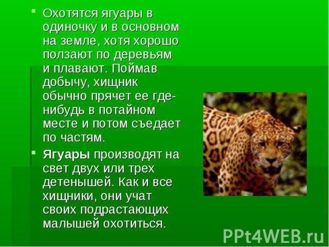 Охотятся ягуары в одиночку и в основном на земле, хотя хорошо ползают по деревьям и плавают. Поймав добычу, хищник обычно прячет ее где-нибудь в потайном месте и потом съедает по частям. Ягуары производят на свет двух или трех детенышей. Как и все х…