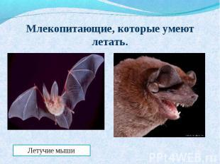 Млекопитающие, которые умеют летать.Летучие мыши