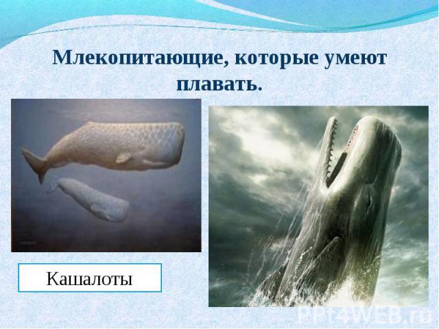 Млекопитающие, которые умеют плавать.Кашалоты