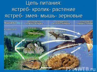 Цепь питания:ястреб- кролик- растениеястреб- змея- мышь- зерновые