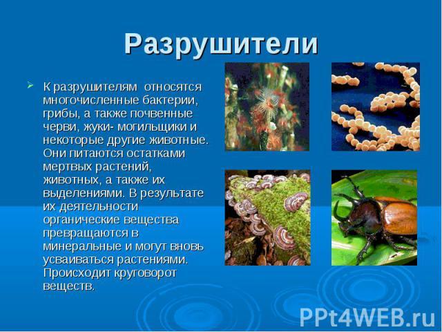 Разрушители К разрушителям относятся многочисленные бактерии, грибы, а также почвенные черви, жуки- могильщики и некоторые другие животные. Они питаются остатками мертвых растений, животных, а также их выделениями. В результате их деятельности орган…