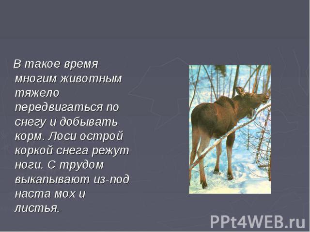 В такое время многим животным тяжело передвигаться по снегу и добывать корм. Лоси острой коркой снега режут ноги. С трудом выкапывают из-под наста мох и листья.