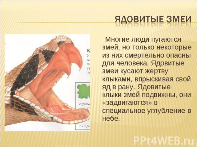 Ядовитые змеи Многие люди пугаются змей, но только некоторые из них смертельно опасны для человека. Ядовитые змеи кусают жертву клыками, впрыскивая свой яд в рану. Ядовитые клыки змей подвижны, они «задвигаются» в специальное углубление в нёбе.