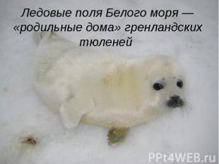 Ледовые поля Белого моря — «родильные дома» гренландских тюленей