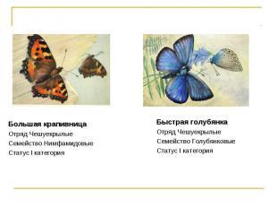 Большая крапивница Отряд Чешуекрылые Семейство НимфамидовыеСтатус I категория Бы