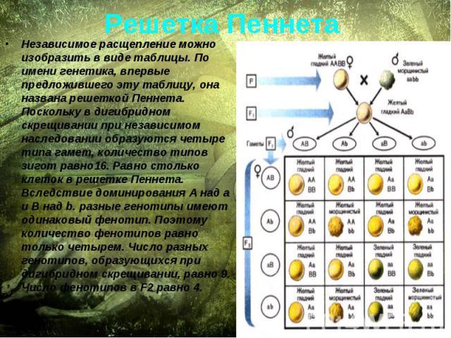 Решетка Пеннета Независимое расщепление можно изобразить в виде таблицы. По имени генетика, впервые предложившего эту таблицу, она названа решеткой Пеннета. Поскольку в дигибридном скрещивании при независимом наследовании образуются четыре типа гаме…