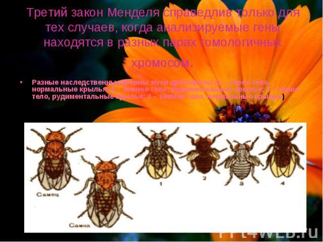 Третий закон Менделя справедлив только для тех случаев, когда анализируемые гены находятся в разных парах гомологичных хромосом. Разные наследственные формы мухи дрозофилы (1 – серое тело, нормальные крылья; 2 – темное тело; рудиментальные крылья; 3…