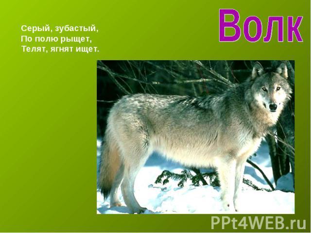 ВолкСерый, зубастый,По полю рыщет,Телят, ягнят ищет.