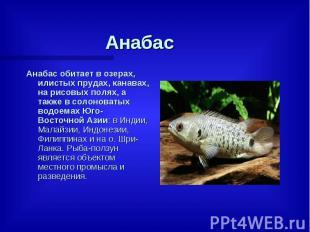 Анабас Анабас обитает в озерах, илистых прудах, канавах, на рисовых полях, а так