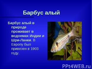 Барбус алый Барбус алый в природе проживает в водоемах Индии и Шри-Ланки. В Евро