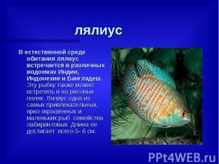лялиус В естественной среде обитания лялиус встречается в различных водоемах Инд