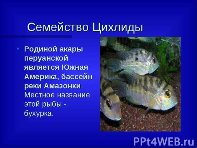 Семейство Цихлиды  Родиной акары перуанской является Южная Америка, бассейн реки Амазонки. Местное название этой рыбы - бухурка.
