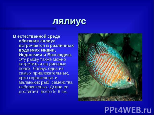 лялиус В естественной среде обитания лялиус встречается в различных водоемах Индии, Индонезии и Бангладеш. Эту рыбку также можно встретить и на рисовых полях. Лялиус одна из самых привлекательных, ярко окрашенных и маленьких рыб семейства лабиринто…