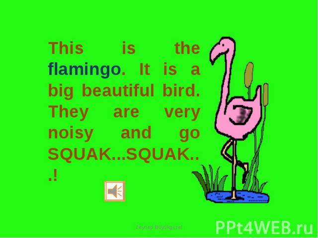 This is the flamingo. It is a big beautiful bird. They are very noisy and go SQUAK...SQUAK...!