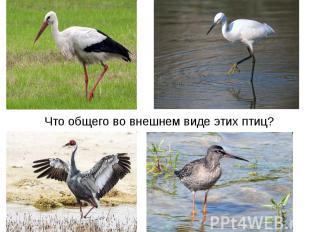 Что общего во внешнем виде этих птиц?