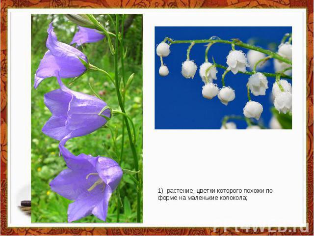 1) растение, цветки которого похожи по форме на маленькие колокола;
