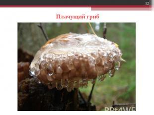 Плачущий гриб