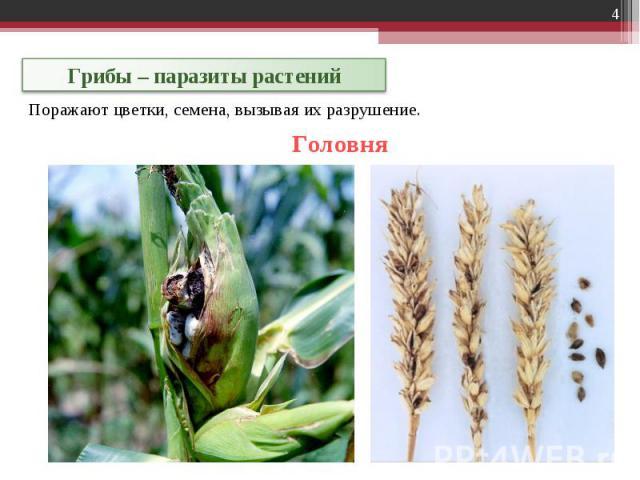 Грибы – паразиты растений Поражают цветки, семена, вызывая их разрушение.
