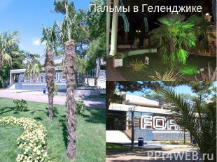 Пальмы в Геленджике
