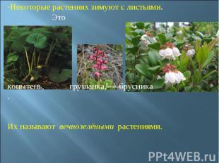 Некоторые растениях зимуют с листьями. Это копытень, грушанка, брусника. Их назы