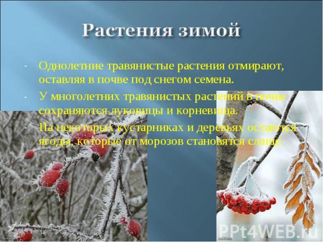 Растения зимой Однолетние травянистые растения отмирают, оставляя в почве под снегом семена.У многолетних травянистых растений в почве сохраняются луковицы и корневища.На некоторых кустарниках и деревьях остаются ягоды, которые от морозов становятся…