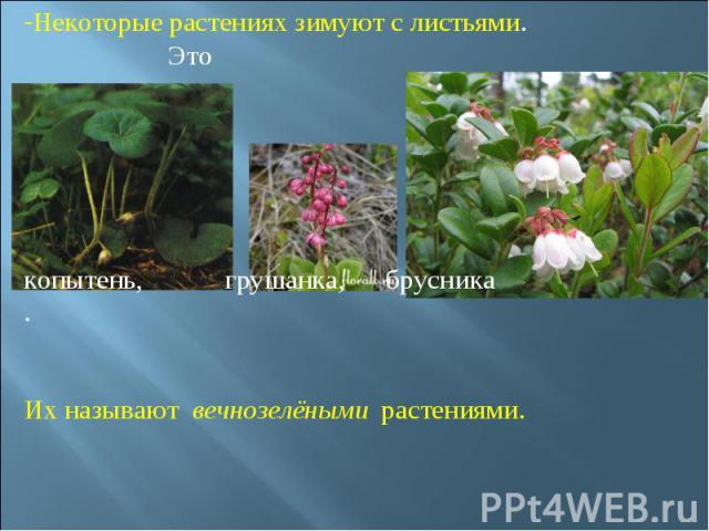 Некоторые растениях зимуют с листьями. Это копытень, грушанка, брусника. Их называют вечнозелёными растениями.