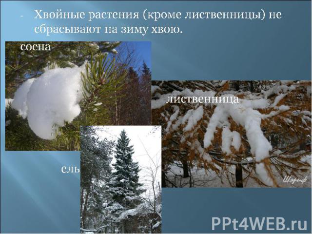 Хвойные растения (кроме лиственницы) не сбрасывают на зиму хвою.сосна лиственница ель