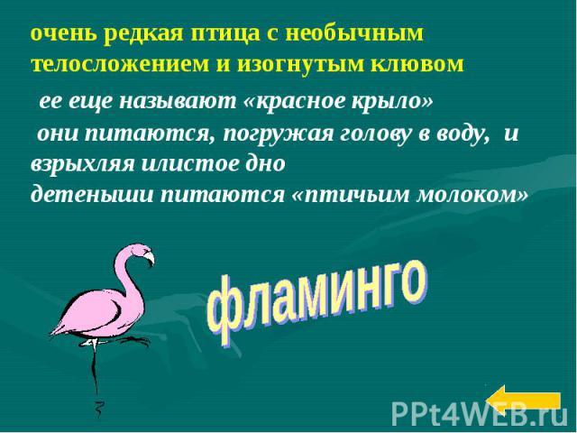 очень редкая птица с необычным телосложением и изогнутым клювом ее еще называют «красное крыло» они питаются, погружая голову в воду, и взрыхляя илистое днодетеныши питаются «птичьим молоком»