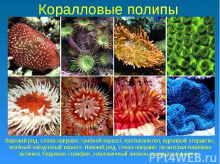 Коралловые полипы Верхний ряд, слева направо: грибной коралл, протопалитоя, курч