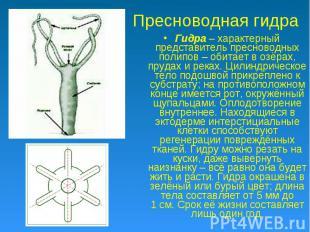 Пресноводная гидра Гидра – характерный представитель пресноводных полипов – обит