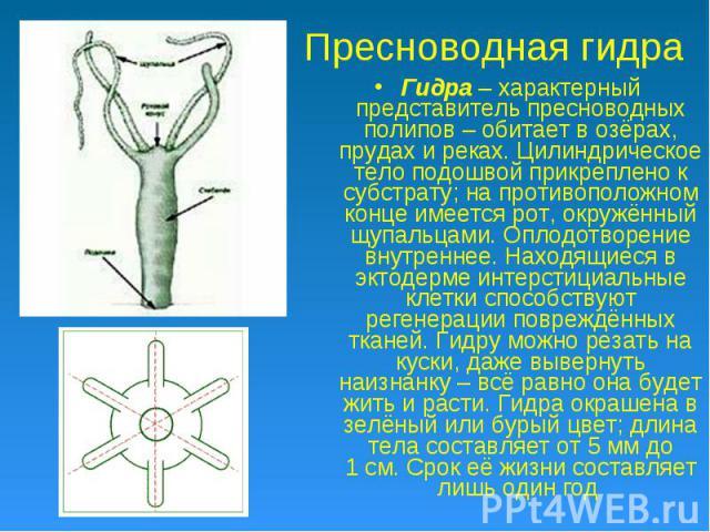 Пресноводная гидра Гидра – характерный представитель пресноводных полипов – обитает в озёрах, прудах и реках. Цилиндрическое тело подошвой прикреплено к субстрату; на противоположном конце имеется рот, окружённый щупальцами. Оплодотворение внутренне…