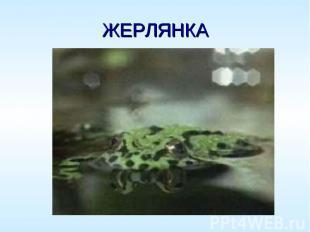 ЖЕРЛЯНКА