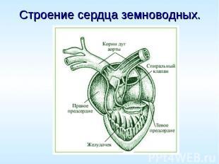 Строение сердца земноводных.