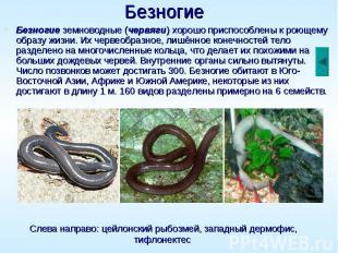 Безногие Безногие земноводные (червяги) хорошо приспособлены к роющему образу жи