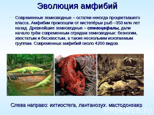 Эволюция амфибий Современные земноводные – остатки некогда процветавшего класса. Амфибии произошли от кистепёрых рыб –350 млн лет назад. Древнейшие земноводные – стегоцефалы, дали начало трём современным отрядам земноводных: безногим, хвостатым и бе…