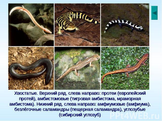 Хвостатые. Верхний ряд, слева направо: протеи (европейский протей), амбистомовые (тигровая амбистома, мраморная амбистома). Нижний ряд, слева направо: амфиумовые (амфиума), безлёгочные саламандры (пещерная саламандра), углозубые (сибирский углозуб)