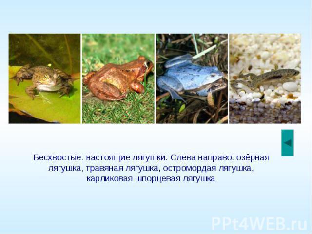 Бесхвостые: настоящие лягушки. Слева направо: озёрная лягушка, травяная лягушка, остромордая лягушка, карликовая шпорцевая лягушка