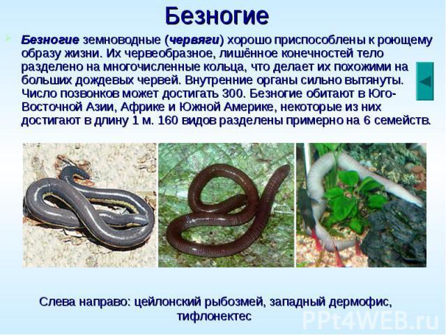 Безногие Безногие земноводные (червяги) хорошо приспособлены к роющему образу жизни. Их червеобразное, лишённое конечностей тело разделено на многочисленные кольца, что делает их похожими на больших дождевых червей. Внутренние органы сильно вытянуты…