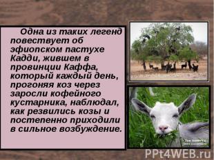 Одна из таких легенд повествует об эфиопском пастухе Кадди, жившем в провинции К