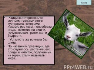 Кадди заинтересовался сочными плодами этого кустарника, которыми лакомились козы