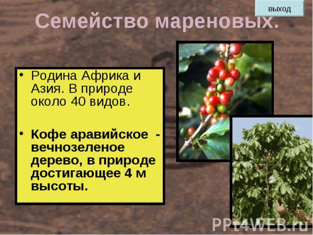 Семейство мареновых. Родина Африка и Азия. В природе около 40 видов. Кофе аравийское - вечнозеленое дерево, в природе достигающее 4 м высоты.