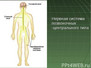 Нервная система позвоночных -центрального типа
