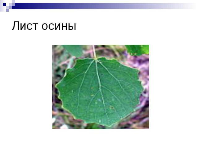 Лист осины