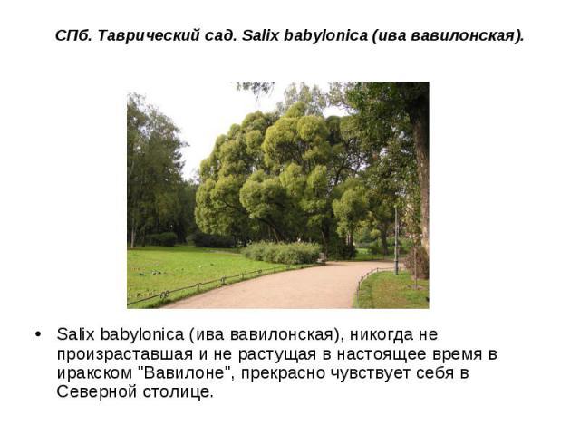 СПб. Таврический сад. Salix babylonica (ива вавилонская). Salix babylonica (ива вавилонская), никогда не произраставшая и не растущая в настоящее время в иракском
