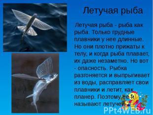 Летучая рыба Летучая рыба - рыба как рыба. Только грудные плавники у нее длинные