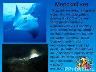 Морской кот Морской кот живет в Черном море. Это плоская рыба с длинным хвостом.
