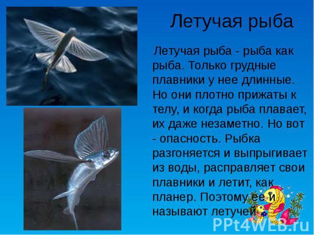 Летучая рыба Летучая рыба - рыба как рыба. Только грудные плавники у нее длинные. Но они плотно прижаты к телу, и когда рыба плавает, их даже незаметно. Но вот - опасность. Рыбка разгоняется и выпрыгивает из воды, расправляет свои плавники и летит, …