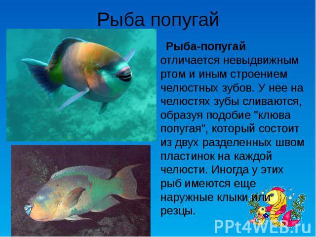 Рыба попугай Рыба-попугай отличается невыдвижным ртом и иным строением челюстных зубов. У нее на челюстях зубы сливаются, образуя подобие